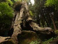 杉林溪森林生態渡假園區-千古紅檜