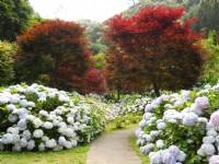 杉林溪森林生態渡假園區-繡球花