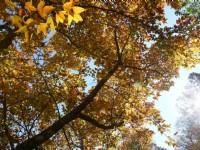 杉林溪森林生態渡假園區-楓紅